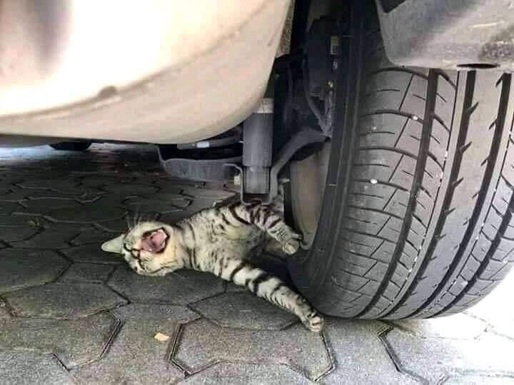 Ngakak Banget, Kucing Ini Viral Gara-gara Drama Pura-pura Terlindas Ban Mobil