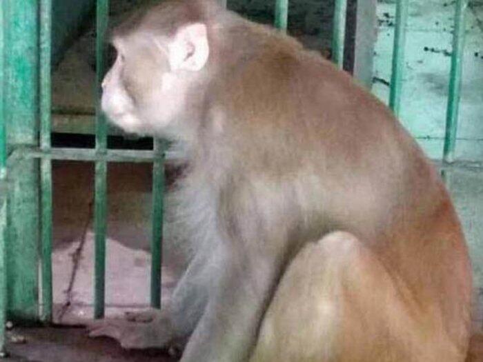 Tak Dapat Asupan Miras, Monyet Pemabuk Ini Tewaskan 1 Orang & Lukai Ratusan Orang