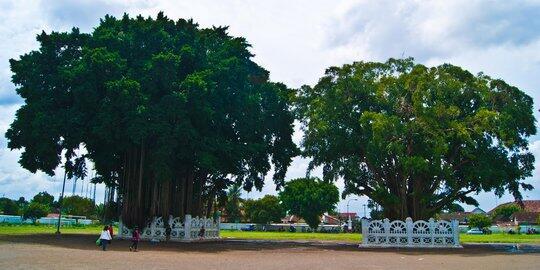Pengalaman Pribadi, Mitos Pohon Beringin Kembar Di Yogyakarta