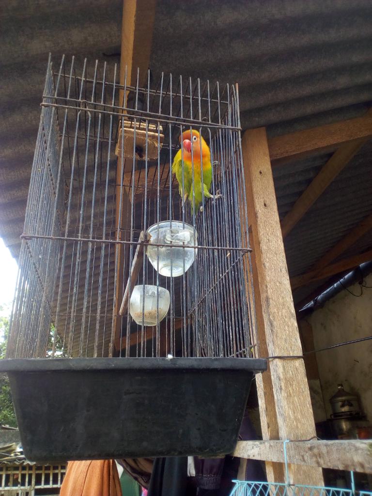Liku-liku Burung Cinta