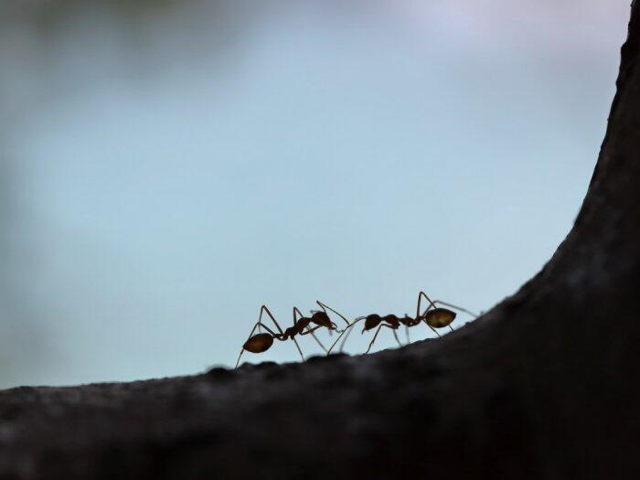 Alasan Dibalik Semut yang 'Saling Bersalaman' Saat Bertemu