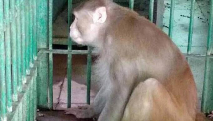 Geger Monyet Pecandu Miras Ngamuk, Tewaskan 1 Orang dan Lukai Ratusan Lainnya