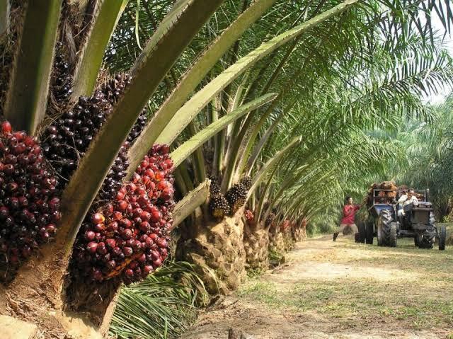 Pengalaman PKL di Perusahaan Perkebunan