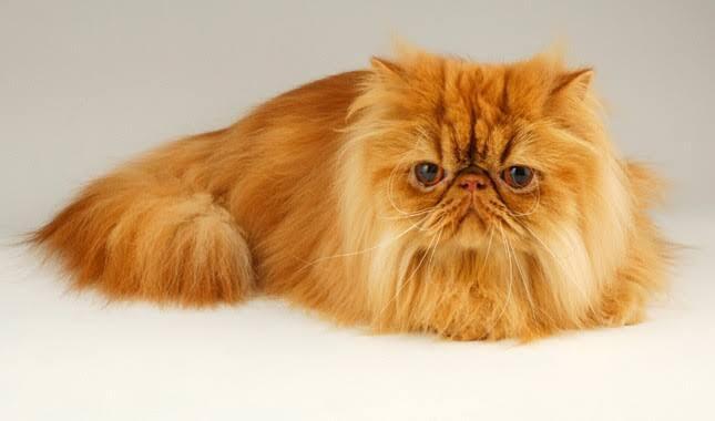 10 Kucing Termahal di Dunia