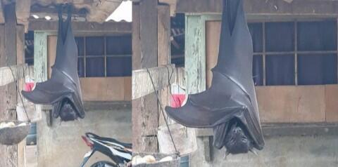 Bikin Geger! Kelelawar Raksasa Menggantung Terbalik di Depan Rumah Warga