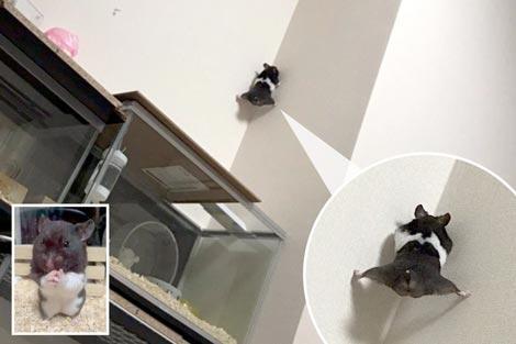 Kemunculan Hamster Spiderman Ini Bikin Warganet Jepang Kaget Sekaligus Menghibur!