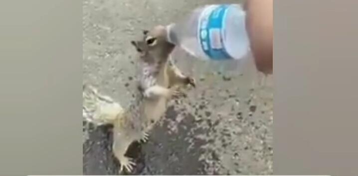 The Real Alvin Chipmunk, Seekor Tupai Meminta Minum Pada Manusia! Bukan Siluman Kan?