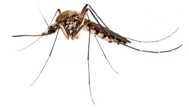 Jutaan Nyamuk Yang Sudah Diubah DNA-nya Siap Dilepaskan.