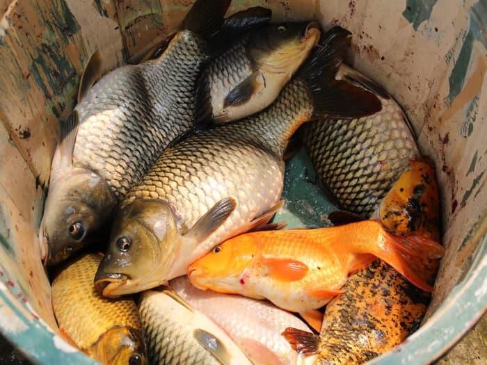 Umpan Ikan Mas 2020 || Paling Jitu Di Segala Musim