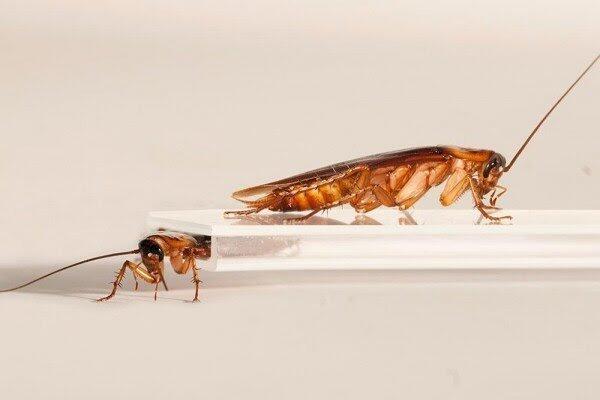 Meski Kepalanya Sudah Putus, Serangga Menjijikkan Ini Masih Bisa 'Menggodamu'