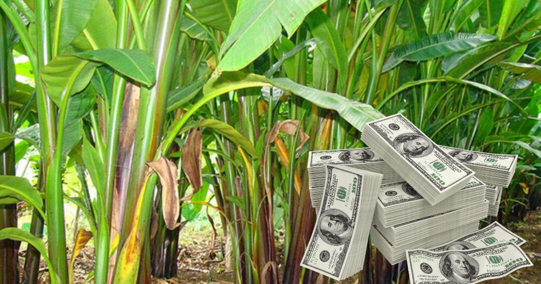 Ternyata Uang Dollar Dibuat dari Serat Pisang di Kabupaten Talaud, Bentuknya Begini..