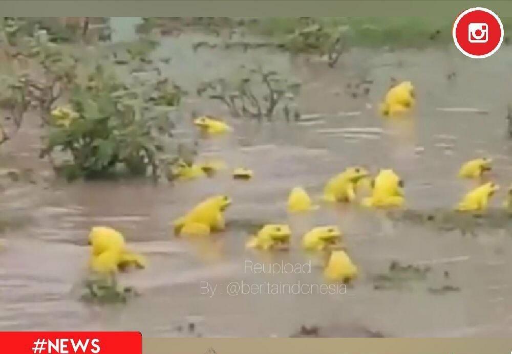 Heboh! Banyak Katak Berwarna Kuning Muncul di India! Pertanda Apa, ya?
