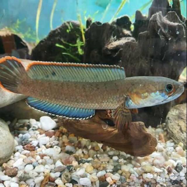 Ikan gabus hias (Channa) asal Indonesia yang kini jadi primadona
