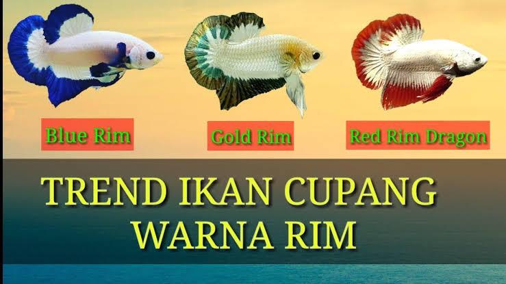 Cupang Blue Rim, Ikan Hias Indah Yang Sering Dilombakan