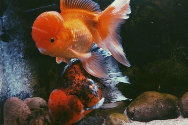 4 Jenis Ikan Hias yang Dipercaya Mampu Membawa Hoki Bagi Pemiliknya