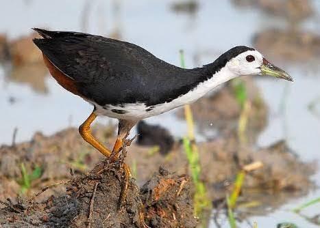 Berburu Burung Ruak Ruak Dan Mistis Yang Menyertainya Kaskus