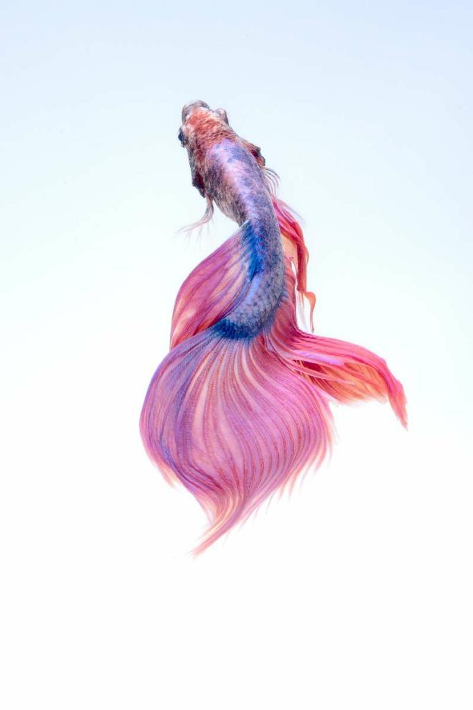[COCupang] Tertarik Berbisnis Ikan Cupang? Berikut Ini Cara Mudah Membudidayakannya