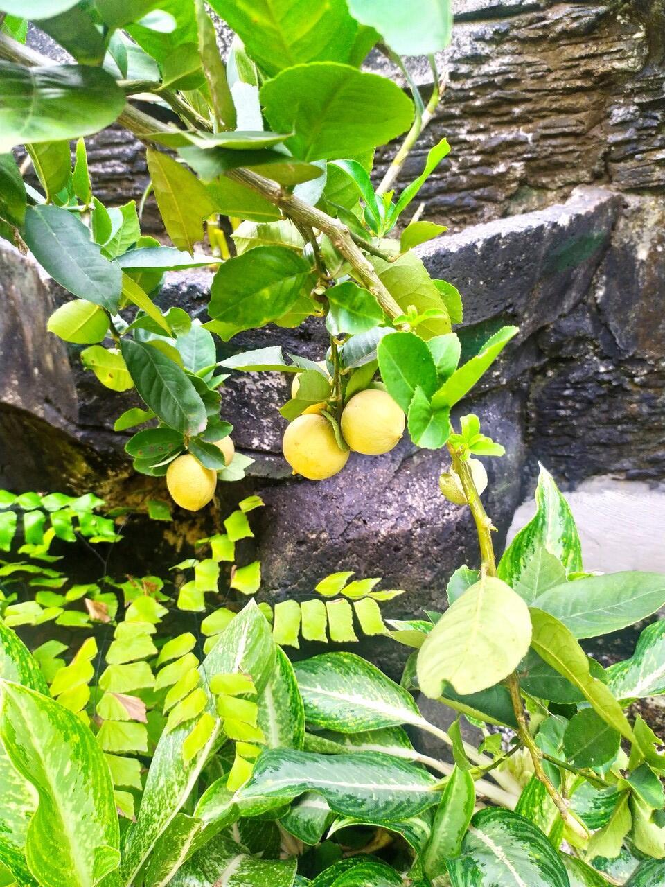 Dapat Vitamin C Gratis, Berkat Menanam Lemon