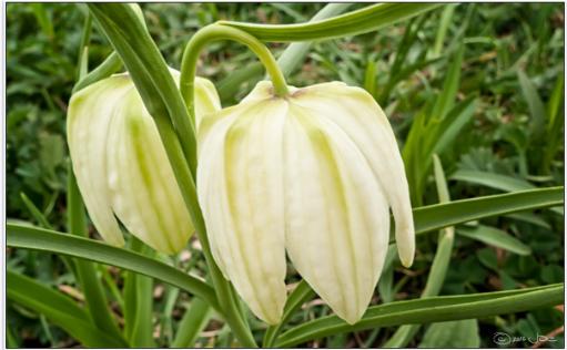 Bunga Unik Ini Konon Mirip