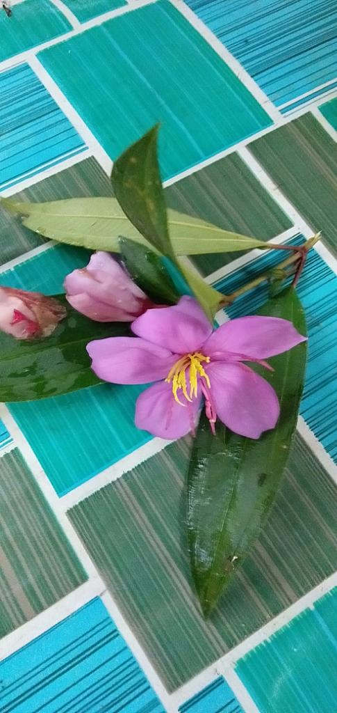 Luar Biasa, Senggani Bunga Liar di Pinggir Jalan, Bisa Obati Penyakit Keputihan Lho!
