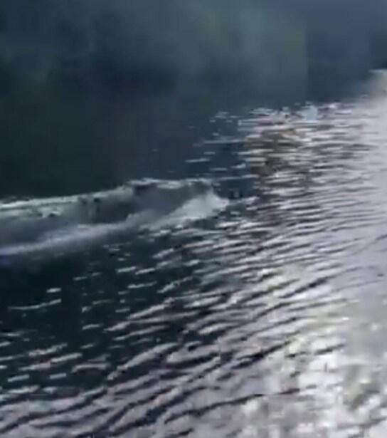 Heboh! Video Penampakan 'BUAYA GILA' Yang Berenang Layaknya Seekor Lumba-Lumba !