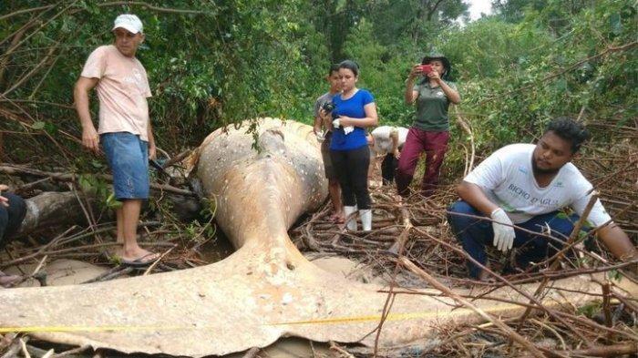 Paus Bungkuk Terdampar Di Tengah Hutan Amazon, Ilmuwan Bingung!