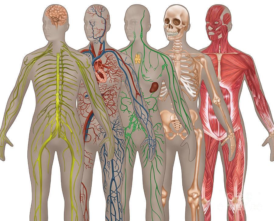 GINJAL TERNYATA MAHAL   Harga Organ Tubuh Manusia