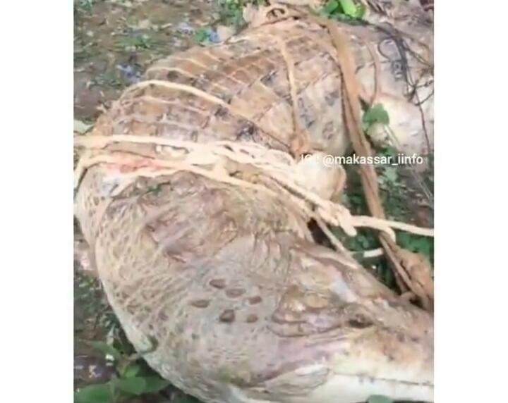 """Heboh Penangkapan Buaya Putih Di Hutan Kalimantan, Netizen: """"Matanya Mirip Manusia!"""""""