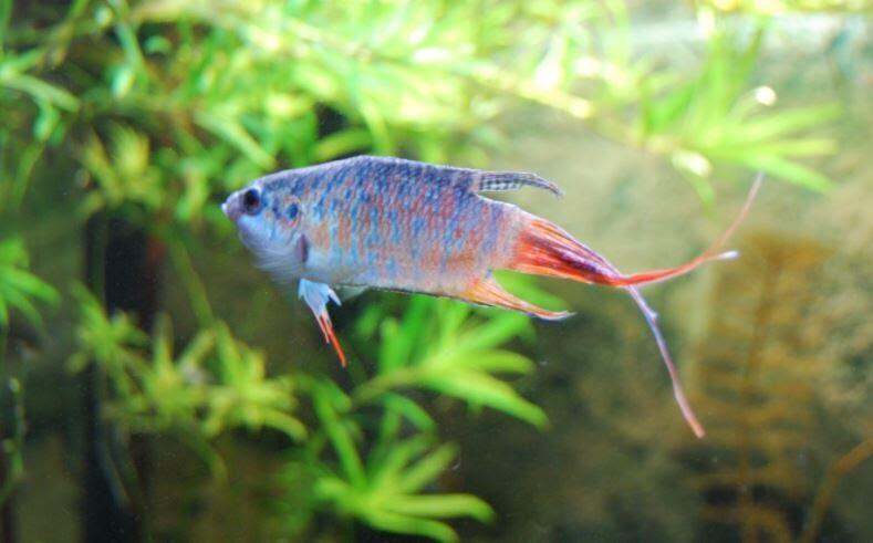 7 Jenis Ikan Cupang yang Banyak Dipelihara di Indonesia