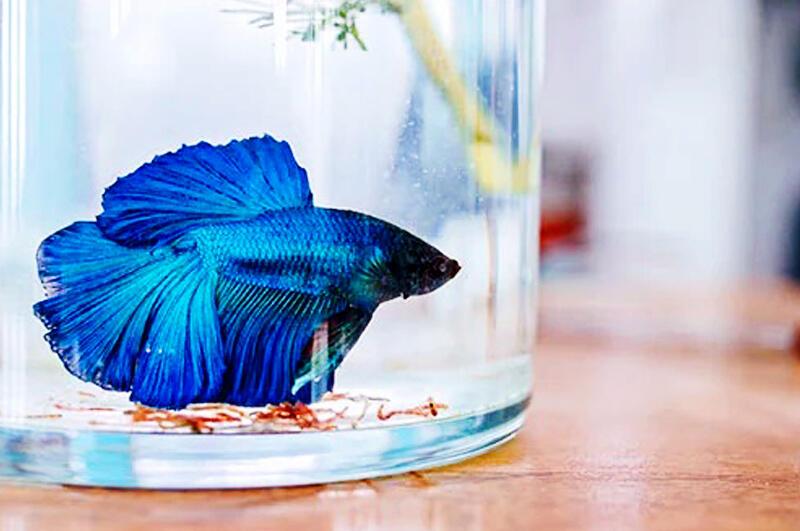 5 Cara Tepat Merawat Ikan Cupang Kesayanganmu