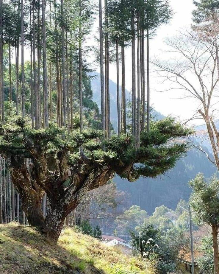 Daisugi, Seni Menumbuhkan Pohon Di Atas Pohon