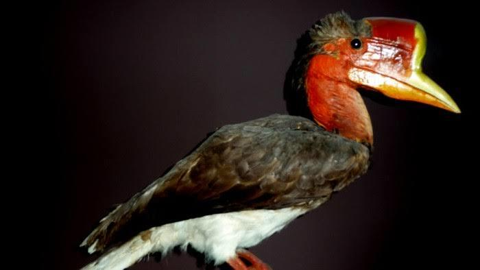[COC Reg. KalBar] Burung Enggang Gading, Maskot Kalimantan Barat Penuh Historis!