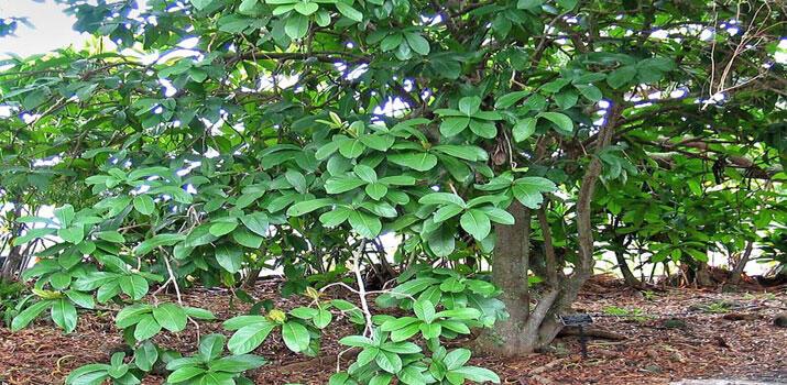 Pohon Ini Mendapat Julukan Sebagai Pohon Kematian Bagi Burung, Kenapa, Ya?
