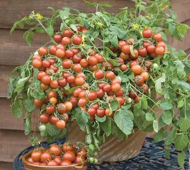 Alternatif Tanaman Sayur Penghias Pekarangan Sempit, Bakal Hemat Belanja Nih!