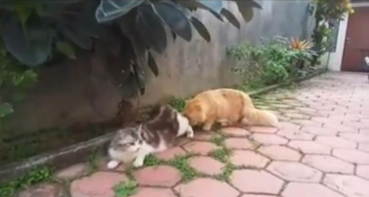 Viral Video Kucing Betina Minta kimpoi, Tapi Pejantan Kurang Peka! Netizen Gemas