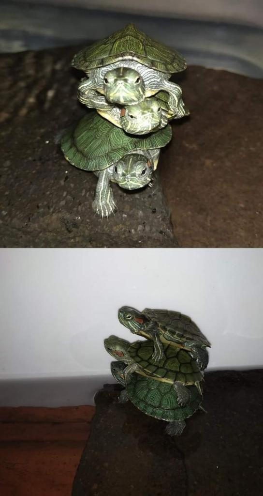 Beda Kura-kura Daratan dan Perairan, Kura-kura Darat Kalau kimpoi Berisik Banget!