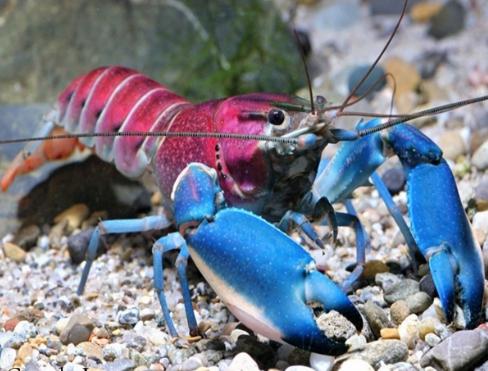 [COC Reg. Papua] Kecantikan Lobster Papua Diakui Dunia, Kok Bisa?