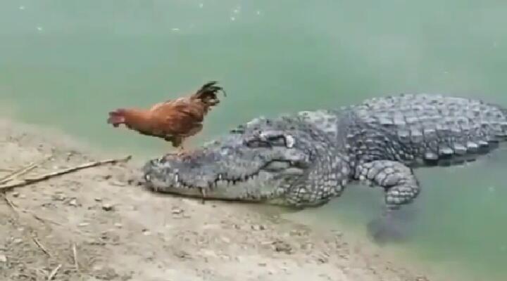 Badan Kecil Bernyali Besar, Ayam Ini Berani Injak-injak Mulut Buaya Tanpa Rasa Takut!