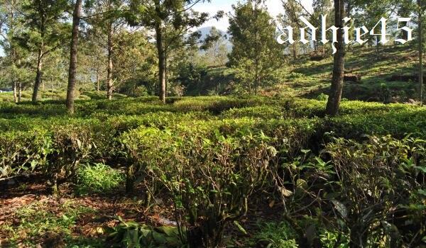 [COC Travellers] Touring Sehat & Tea Walk ke Agro Wisata Gunung Mas Bogor