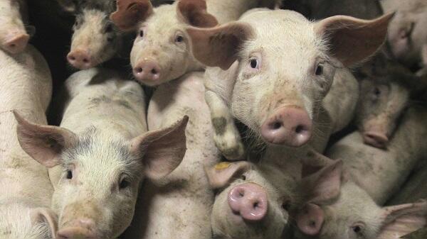 Haram tapi Kenapa Babi Banyak Digunakan dalam Teknologi Pengobatan Modern?
