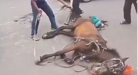 Kejam! Kuda Delman Kelelahan, Dicambuk Meski Sudah Terkapar Tak Berdaya