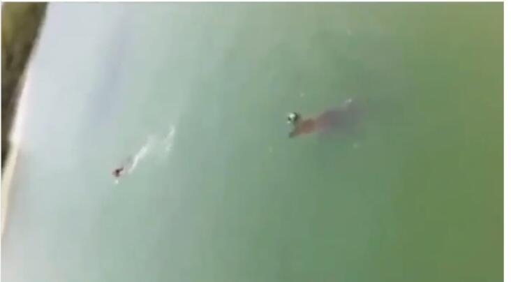 Viral, Seekor Buaya Mengejar Seseorang yang Tengah Berenang di Pantai! Mengerikan