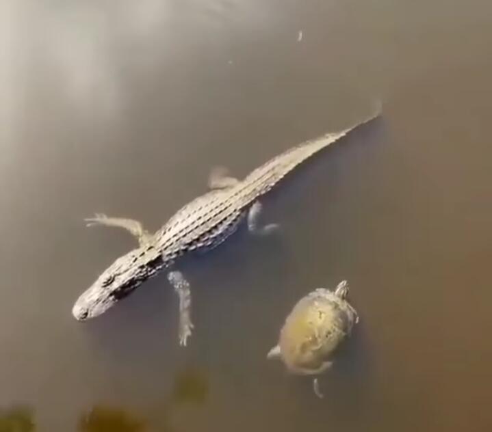 Viral, Momen Buaya Tos dengan Kura-kura Ini Seperti Kawan Lama Baru Berjumpa
