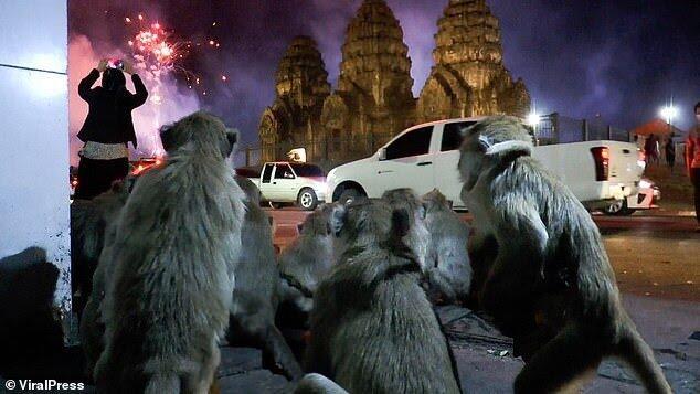 Video Viral ! Ribuan 'MONYET' Panik Kocar-Kacir Akibat Pesta Kembang Api !