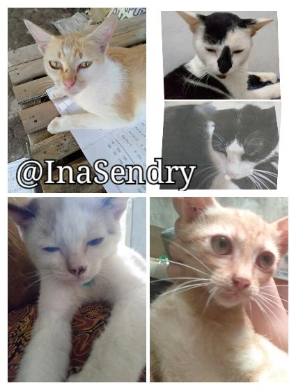 Kucing Cokelat Ini Galau Menentukan Rasnya: Siam, Burma, atau Snowshoe?