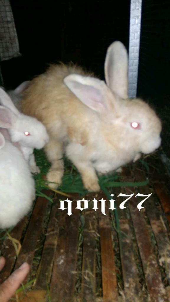Sarang, Hai Kelinci! Alasan, Tips, dan Penyebab Molting Ala qoni77