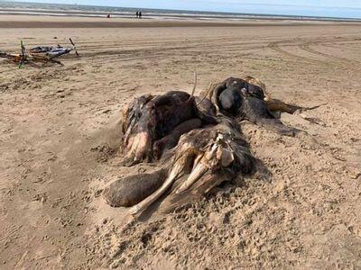 Misteri Mahluk Mirip 'MAMMOTH' Yang Membusuk Di Pantai Inggris