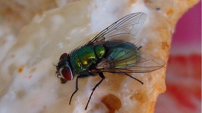Awas Bahaya Telur Lalat Saat Menempel Dimakanan, Penyebab Penyakit Pencernaan!