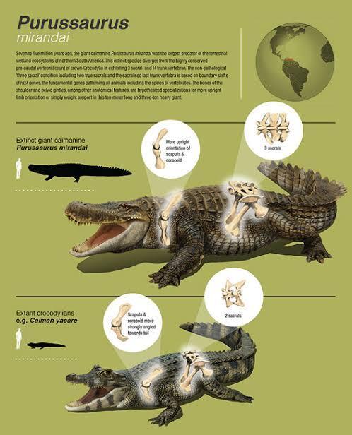 Nenek Moyang Buaya Adalah Purussaurus mirandai, Beratnya Mencapai 3 Ton