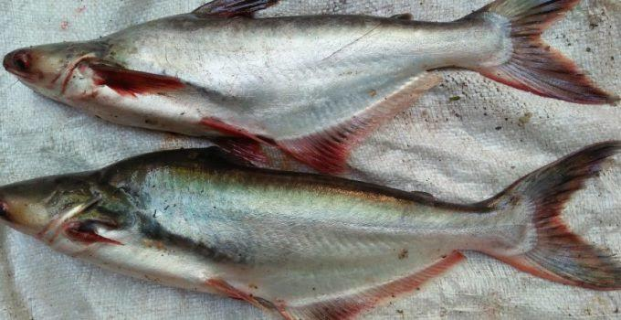 Ikan Patin Masak Belimbing Wuluh, Segar, Mantap dan Enak !